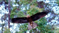 Black Kite at Eagles Heritage Raptor Wildlife Centre in Margaret River, Western Australia
